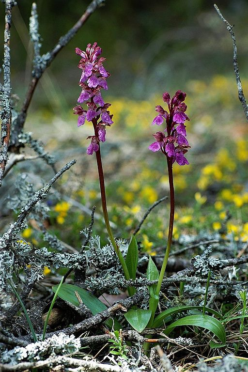 Orchis-spitzelii-mgk-1