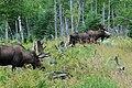 Orignaux - Moose 3.jpg