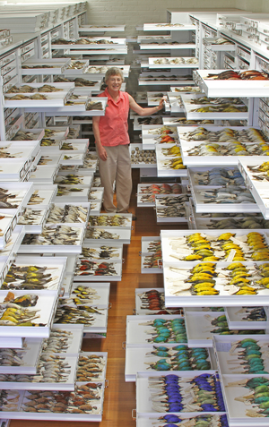 Museum of Comparative Zoology - A collection of bird specimens at the Museum of Comparative Zoology