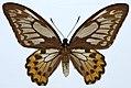 Ornithoptera croesus female (8360924539).jpg