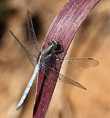 Orthetrum caffrum TWO-STRIPED SKIMMER.jpg
