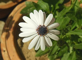 Osteospermum - Image: Osteospermum barberiae Cape Daisy
