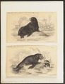 Otaria jubata - 1700-1880 - Print - Iconographia Zoologica - Special Collections University of Amsterdam - UBA01 IZ21100025.tif