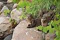 Otter Pups (29367926437).jpg