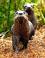 Otters at Lake Woodruff - Flickr - Andrea Westmoreland (2).jpg