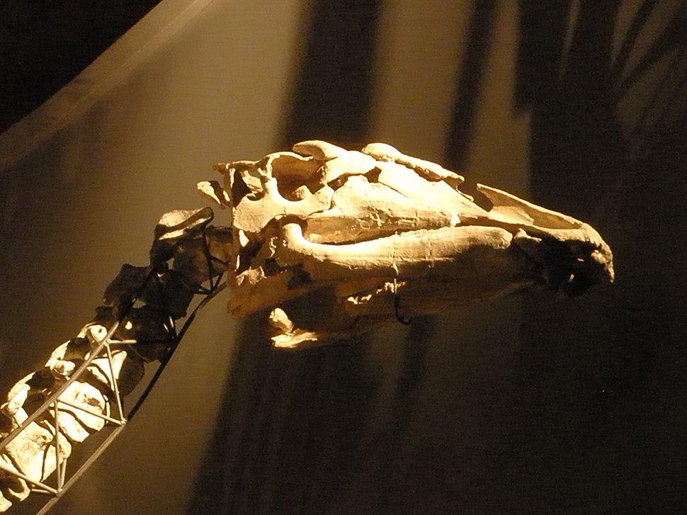 Ouranosaurus - skull
