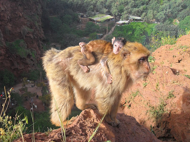 Barbary macaques in ouzoud falls