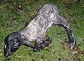 Ovis orientalis aries.jpg