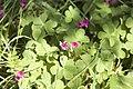 Oxalis articulata (naturalisé).jpg