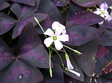 Oxalis triangularis6.jpg