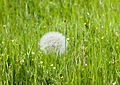 Oyster plant - Tragopogon porrifolius 02.jpg