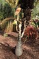 Pájara La Lajita - Oasis Park - Jatropha podagrica 01 ies.jpg