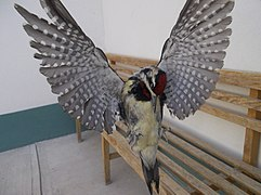 Pájaro carpintero en Tequixquiac.JPG