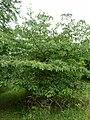 P1000342 Cornus controversa (Cornaceae) Plant.JPG