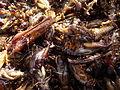 P1000501 0 Insectes gourmandise cambodgienne sucrée.JPG