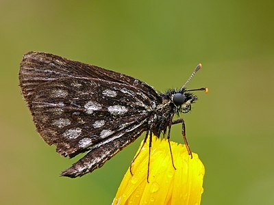 Large Chequered Skipper.