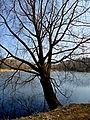 PP Ratajské rybníky, CZ160318 - strom na hrázi Dolního ratajského rybníku.JPG