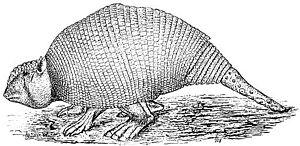 Panochthus - Image: PSM V13 D154 Panochthus tuberculatus