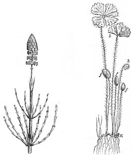 PSM V25 D174 The equisetaceae and marsilia salvatrix.jpg