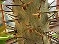 Pachypodium lamerei var. lamerei (Apocynaceae) thorns.jpg