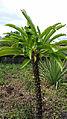 Pachypodium rutenbergianum Madagascar.jpg