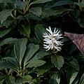 Pachysandra terminalis - floraison.jpg