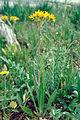 Packera dimorphophylla var dimorphophylla 1205046.jpg