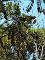 Pajanelia longifolia 13.JPG