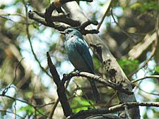 Pale blue flycatcher1 6x4.jpg