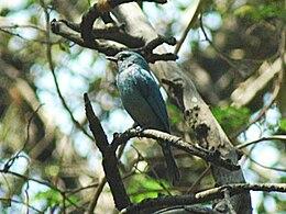 Pale blue flycatcher1 6x4