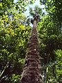 Palmier chanvre - Arboretum Gaston Allard.jpg