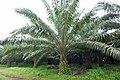 Palmiers à huile à Ribeira Peixe (São Tomé) (1).jpg