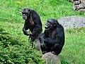 Pan troglodytes - Serengeti-Park Hodenhagen 06.jpg