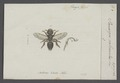 Panurgus - Print - Iconographia Zoologica - Special Collections University of Amsterdam - UBAINV0274 045 06 0002.tif