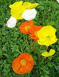 Papaver nudicaule dsc00890 cropped.jpg