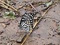 Papilio clytia Linnaeus, 1758 – Common Mime at Kottiyoor Wildlife Sanctuary (9).jpg