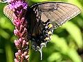 Papilio glaucus-female dark form ventral.jpg