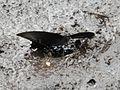 Papilio maackii on Rishiri Island2.jpg