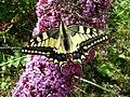 Papilio machaon (Papilionidae) - (imago), Arnhem, the Netherlands.jpg