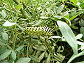 Papilio machaon 1280629.JPG