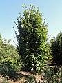 Parrotia persica 'Burgundy' - J. C. Raulston Arboretum - DSC06150.JPG