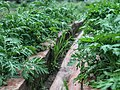Parthenium hysterophorus 3.jpg