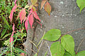 Parthenocissus quinquefolia & Toxicodendron radicans 7821.jpg