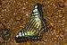 Parthenos sylvia-Kadavoor-2016-06-25-002.jpg