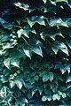 Parthinocisus quinquifolia WPC.jpg