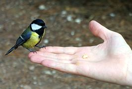 Parus major feeding by hand.JPG
