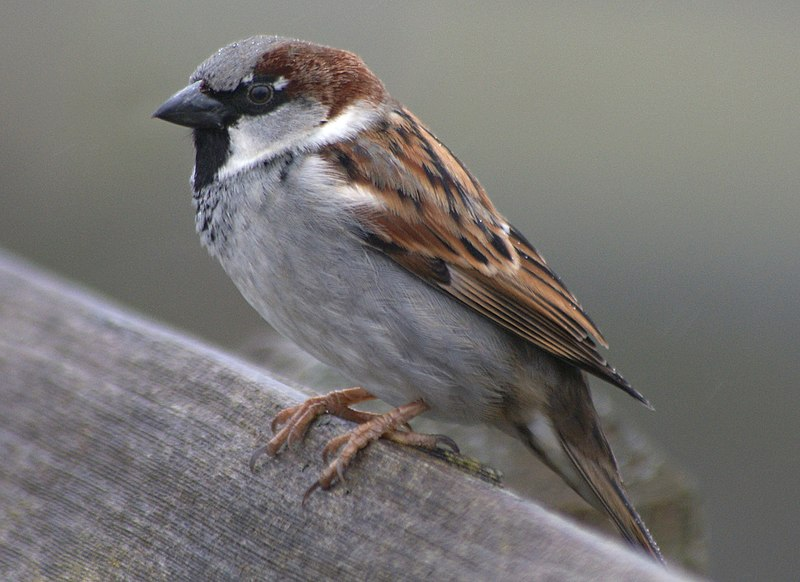 Passer domesticus -British Columbia , Canada -male-8a