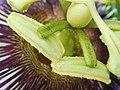 Passiflora edulis-Stamens 03.jpg