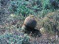 Pediocactus simpsonii ssp. robustior fh 115 NV B.jpg