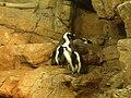 Penguin Exhibit at Monterey Aquarium, California.JPG